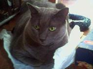 Pranas, gray shorthaired cat